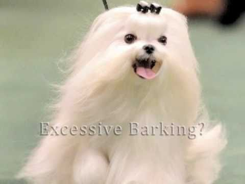 maltese barking barking maltese youtube 5761