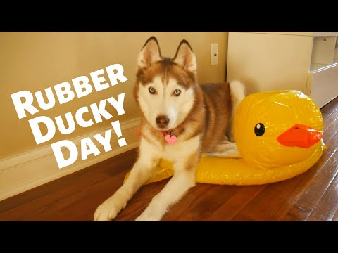 National Rubber Ducky Day with Laika the Husky!