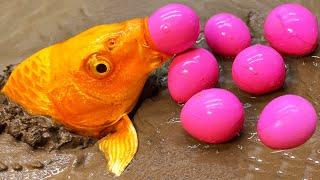 Golden Carp eel - Stop Motion ASMR Primitive Experiment Cooking Unbelievable fish eggs movement!