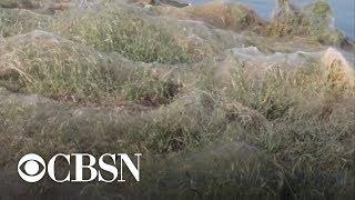 Yuck! Massive spiderweb blankets Greek beach