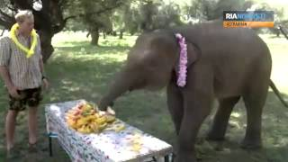 Baby elephant receives a birthday cake made of 30 melons
