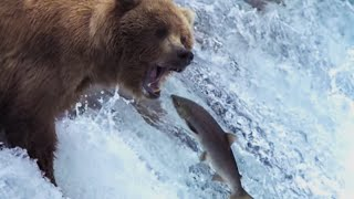 Grizzly Bears Catching Salmon | Nature's Great Events | BBC Earth