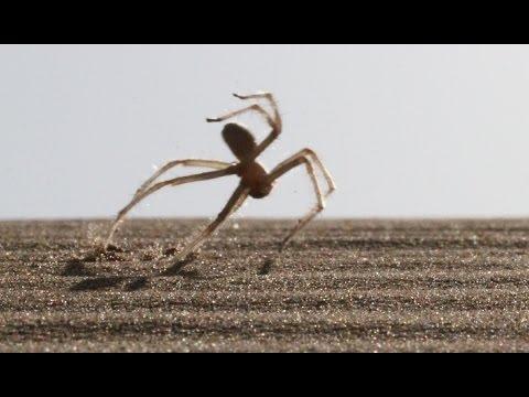 Cebrennus rechenbergi, la primera y única araña gimnasta