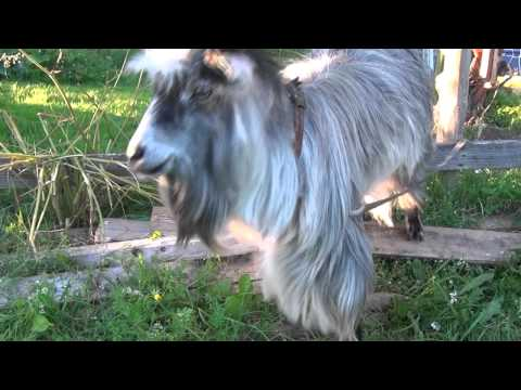 Beatboxing Goat