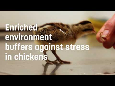 Enriched environment buffers against stress in chickens