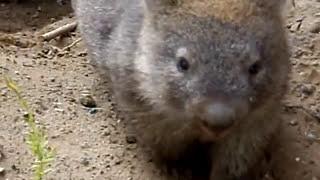 Wilsons Prom Wombats 2009