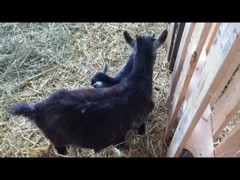 Apple Holler Baby goat video