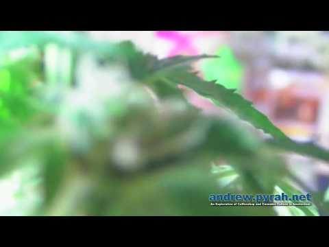 video Quick One (Royal Queen Seeds)