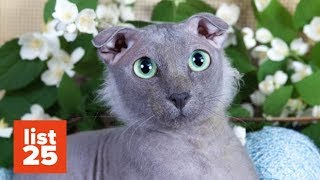 25 Most BIZARRE Cat Breeds Ever