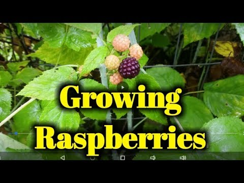 Growing Raspberries Organically In Our Food Forest