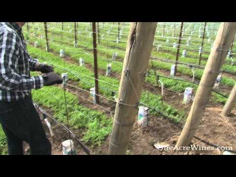 One Acre Napa Valley - Yountville AVA Episode 8  - Upper Trellising Wire