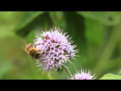 Video: Bees Matter to everyone. Now Canadians can help provide honey bees with the nutritious food they need to keep their hives healthy by signing up for a free packet of seeds to create their own pollinator-friendly garden. Visit www.beesmatter.ca to learn more.