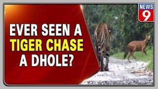 Tiger chasing wild dog in Kabini goes viral on social medi..