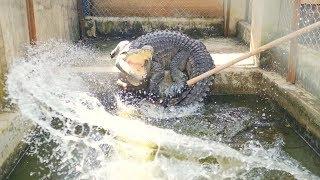 Cá sấu nhà mình khôn lắm 😂, dọn chuồng cá sấu và cho cá sấu ăn