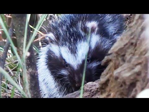 The Killer Rat with Poisonous Fur | Chris & Megs: Amaze Me | BBC Earth