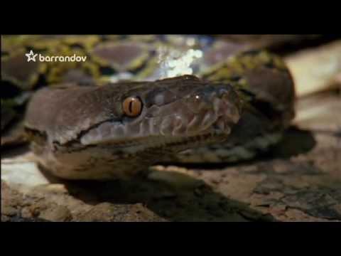 Pán hadov - Krajta miežkovaná