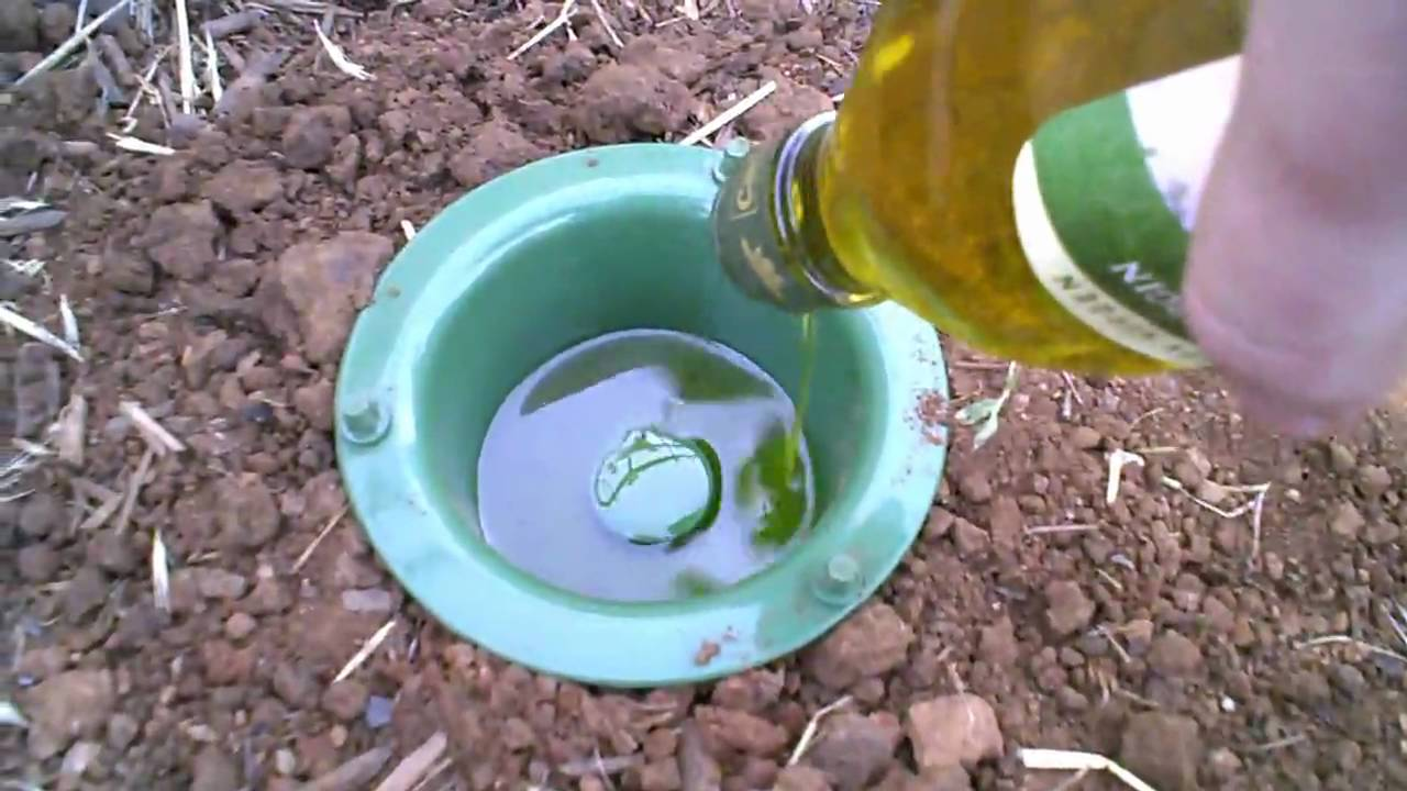 Natural Ways To Kill Earwigs Using Oil