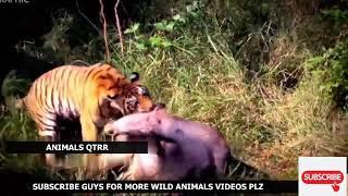 Chasing Tiger Real Fight! Scary Tiger attacks! Lion jaguar boar bear buffalo animal Fight!