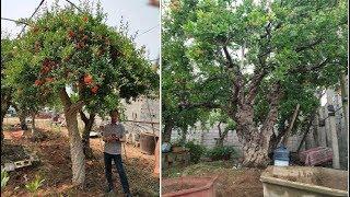 Hai cây lựu cổ giá hơn 6 tỷ: Đại gia quyết không bán cho Trung Quốc