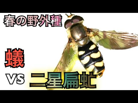 蟻王国#82 蟻VSフタホシヒラタアブ!春の野外種〈Ants VS horsefly〉