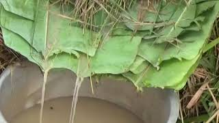 Making local beer (tonto) in Buganda
