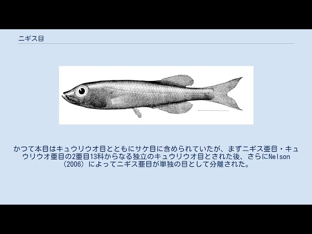 Sumo conjures up title of massive deep-sea fish
