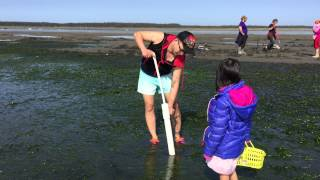Bắt ốc vòi voi ( Geoduck) biển Tillamook