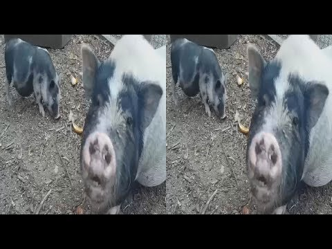 Pigs and Goats in 3D ( PART 2 ) ! Animal Brotherhood! Ecopark! 3D VIDEO