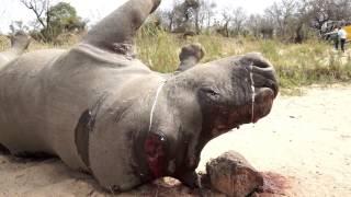 Cùng Hồng Nhung chấm dứt nạn thảm sát tê giác