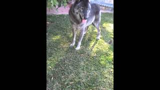 Pet Wolf at home with dog