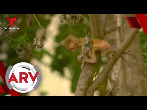 Prueba de vacuna contra COVID-19 en monos da resultados exitosos | Al Rojo Vivo | Telemundo