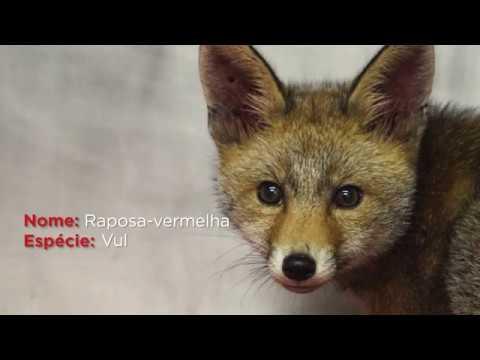 Raposa encontrada na rua recupera no Parque Biológico