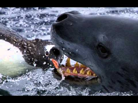 Killer Whale vs. Leopa...