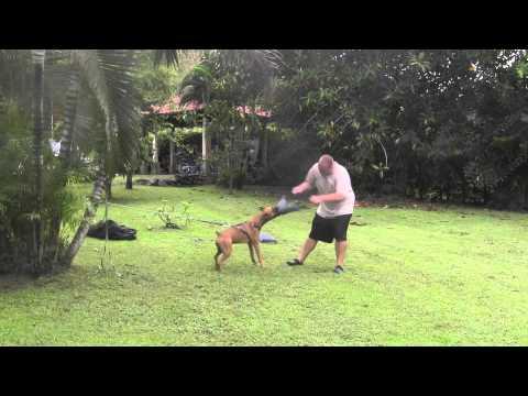 Como Entrenar Un Perro De Ataque