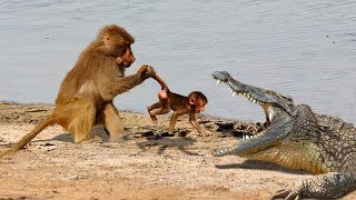 Mother Baboon Save Her Baby From Crocodile Hunting But Fail | Poor Baby Baboon