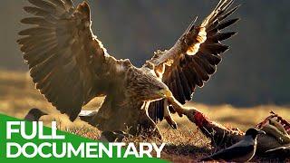 The Sea Eagle - King of the Seas | Free Documentary Nature