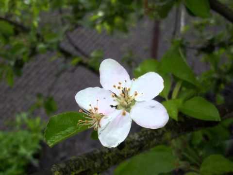Fleur - Шелкопряд