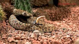 ガラガラヘビ10