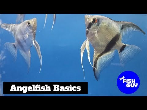 video Angelfish (Ornamental Fish for Aquarium)