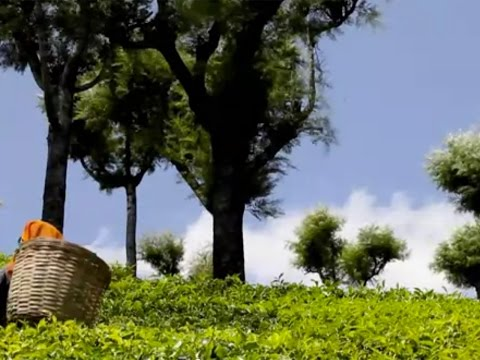 Honest Origins: Our Korakundah Tea Garden Story