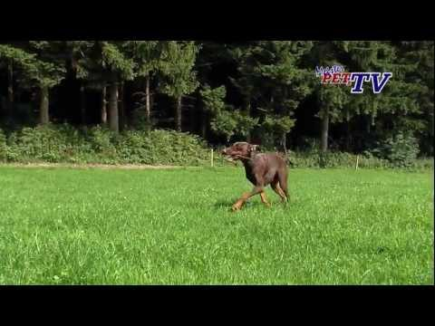 Video zu Dobermann