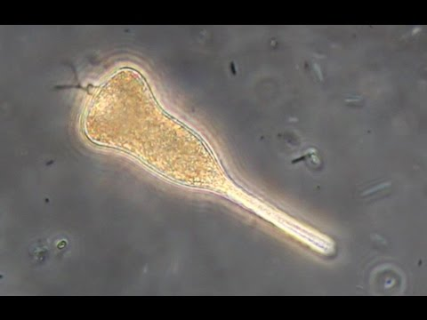 Metaboly of the euglenoid protist Distigma sp.