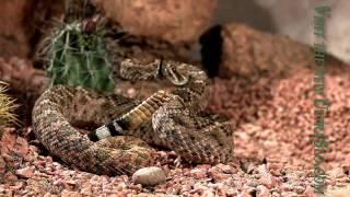 ガラガラヘビ5