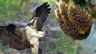 Honey Buzzards vs Hornets _ Honey Buzzards hunting Hornets nest | Hunting tricks of Honey Buzzards