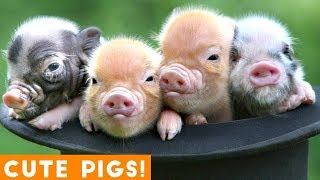 New Ultimate Cute Mini Pigs & Micro Pigs Compilation 2018 | Try Not to Laugh Funny Pet Videos FPV