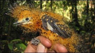 Tìm thấy tổ chim cực kỳ hiếm gặp ở vườn bưởi.