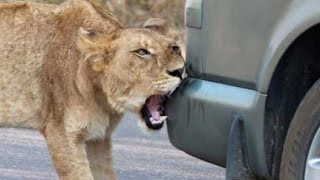 Lion Versus a Car's Bumper - Latest Wildlife Sightings