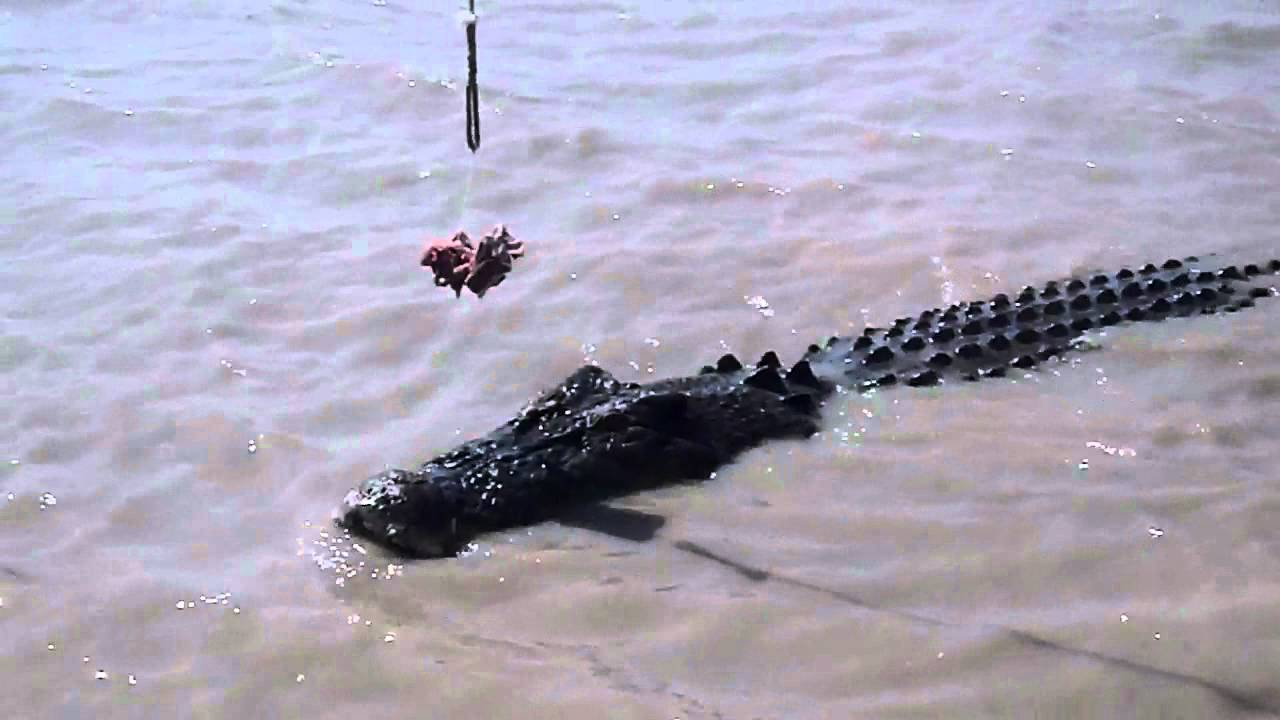 Salt Water Crocodile Vs Great White Shark 15