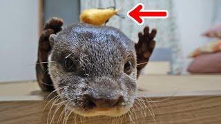 カワウソのビンゴが猫のおもちゃで弄ばれた休日 Cat toy test for Otter Bingo