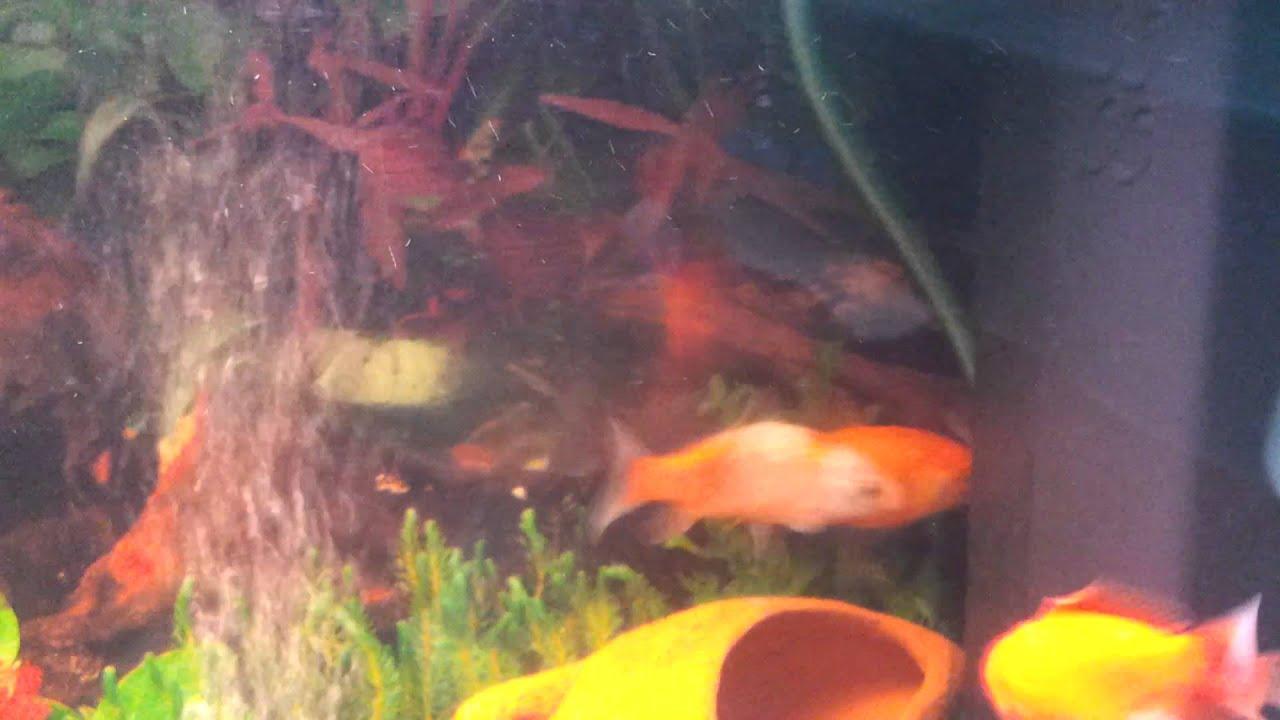 riproduzione pesci rossi youtube